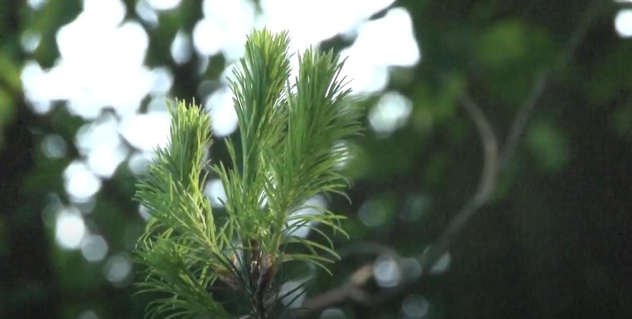 Nadeln von Nadelbaum