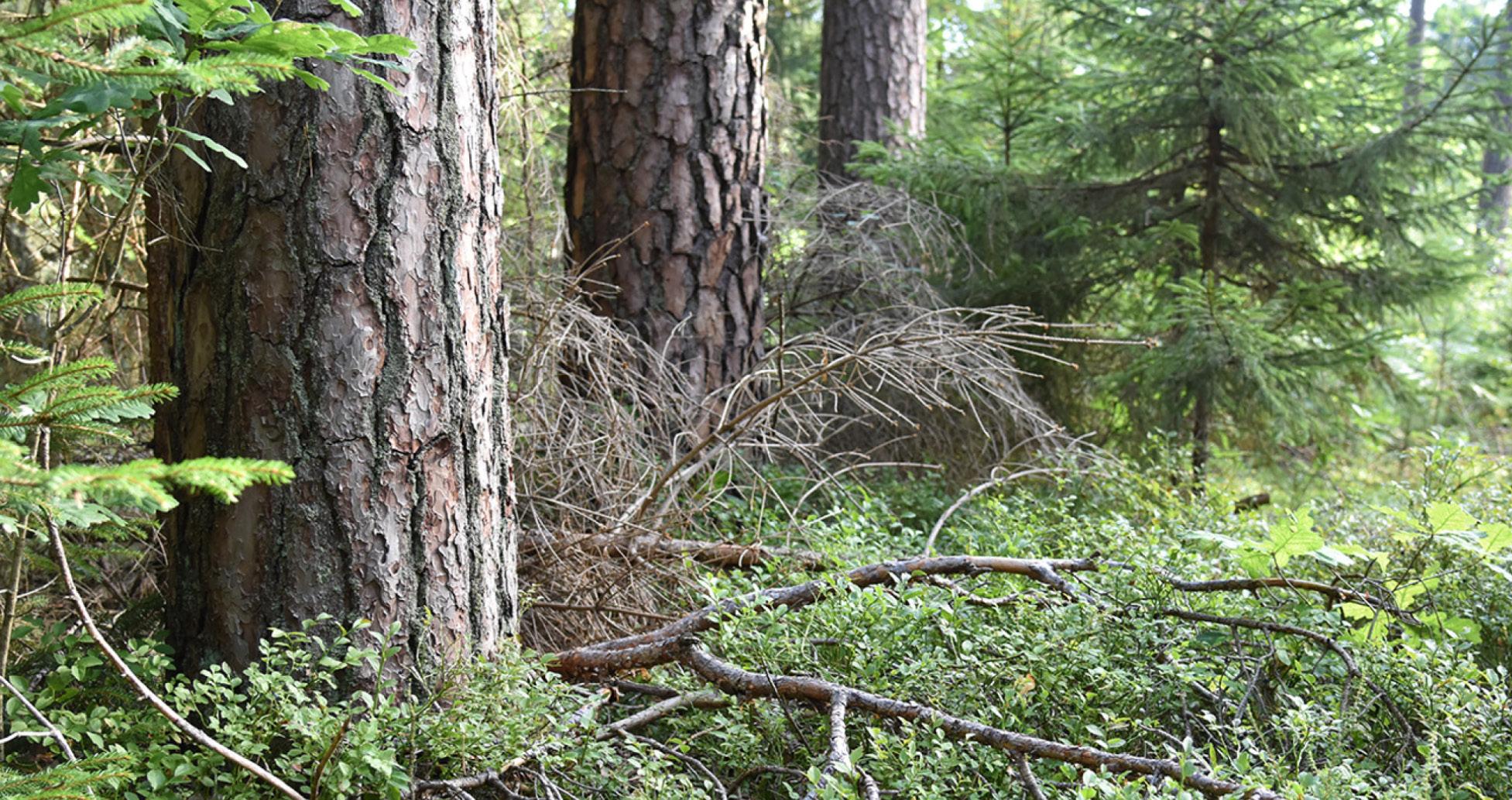 Gefährdete Baumarten